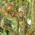 Kandy - Jardin Botanique de Peradeniya